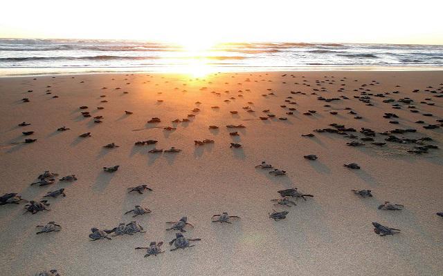 Hotel Estrella del Mar Resort Mazatlán, cuenta con un santuario para la protección de la tortuga marina