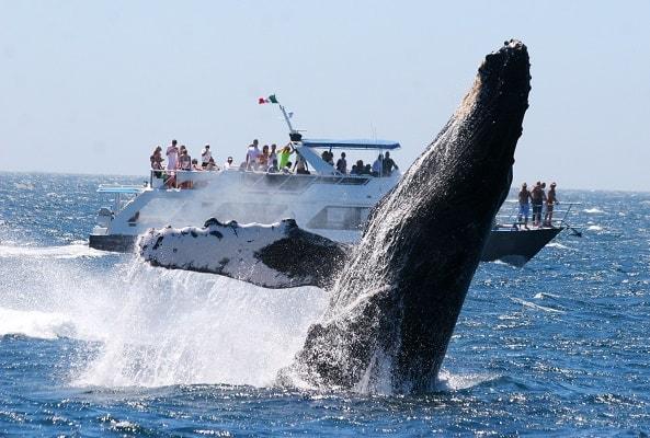 Avistamiento de Ballenas Grises en Cabo San Lucas