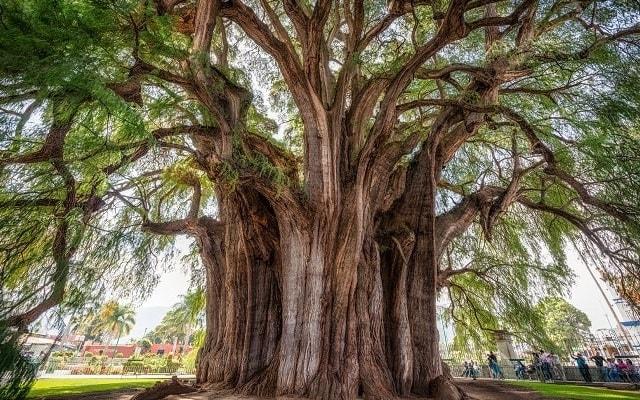Circuito Cultural por Oaxaca y Guelaguetza 5 días, asómbrate con el árbol del Tule