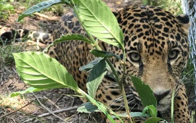 Circuito Huasteca Potosina Tres Días, jaguar en peligro de extinción