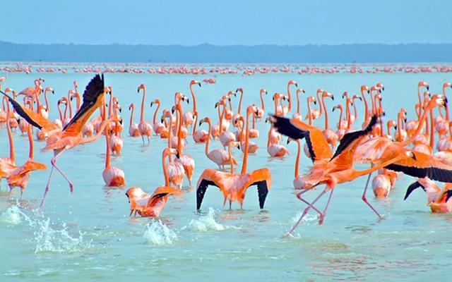 Los flamencos rosados son característicos de Celestún