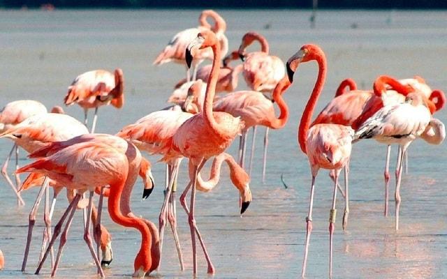 Las Coloradas y Río Lagartos, Yucatán, flamencos rosados
