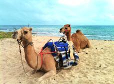 Camellos - Tour Safari en Camello