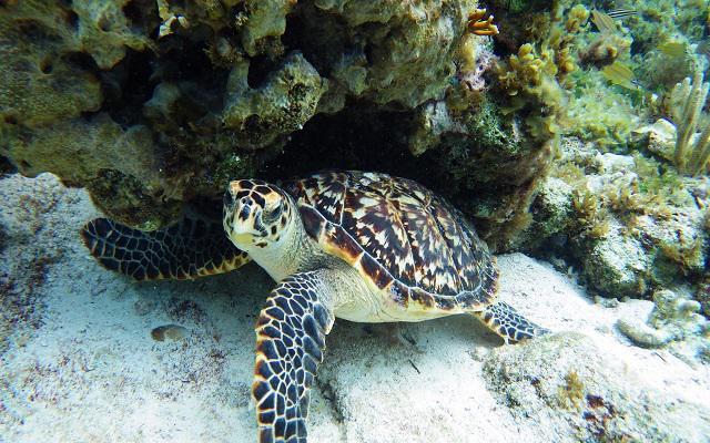 La opción de Snorkel encuentro con tortugas te permitirá conocer el hábitat natural de esta especie